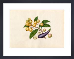 Solanum melongena, Malus prunifolia, Eriobotrya japonica by Wang Lui Chi