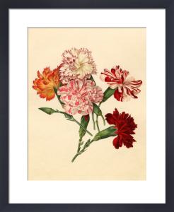 Dianthus caryophyllus by Caroline Maria Applebee