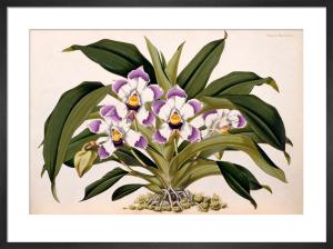 Bollea lawrenceana by Benjamin Samuel Williams