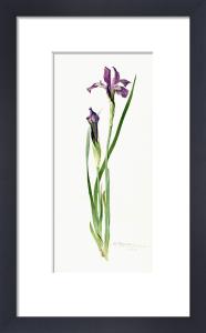 Iris tolmieana by Miss Williamson