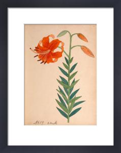 Lilium leichtlinii var. maximowiczii by Anonymous