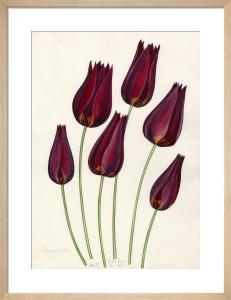 T. mauritiana by John Paul Wellington Furse