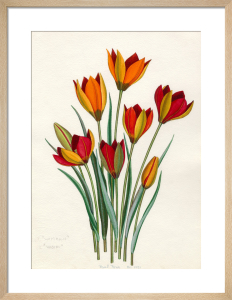 T. whittallii, T. hageri by John Paul Wellington Furse