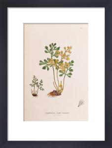 Asplenium ruta-muraria by John Edward Sowerby