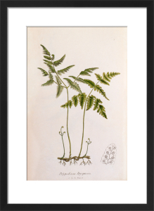 Polypodium dryopteris by John Edward Sowerby