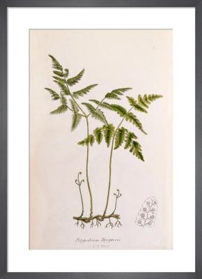 Polypodium dryopteris by John Edward Sowerby