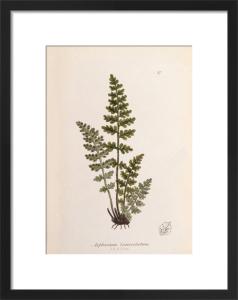 Asplenium obovatum subsp. lanceolatum by John Edward Sowerby
