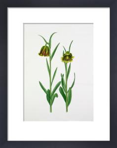 Fritillaria pyrenaica, Pale Forms by John Paul Wellington Furse