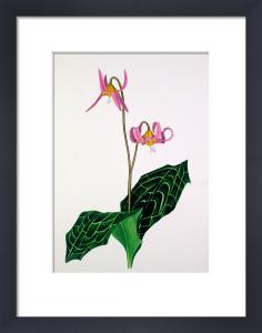 Erythronium 'Rose Beauty' by John Paul Wellington Furse