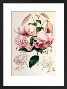 Lilium speciosum by Walter Hood Fitch
