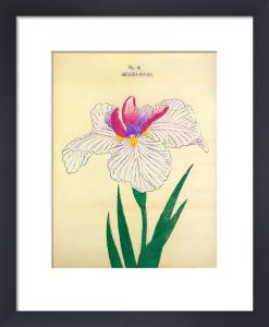 Iris Akashi-No-Ue by The Yokohama Nursery Co Ltd