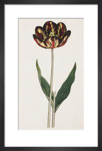 Castrum Doloris, a Bizarre Tulip by James Sowerby