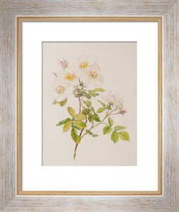 Rosa dupontii (Rosa nivea (moschata x gallica)) by Alfred William Parsons