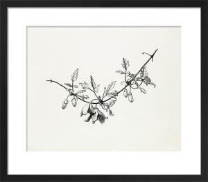 Clematis cirrhosa var. balearica by Graham Stuart Thomas