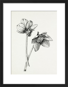 Helleborus niger by Graham Stuart Thomas