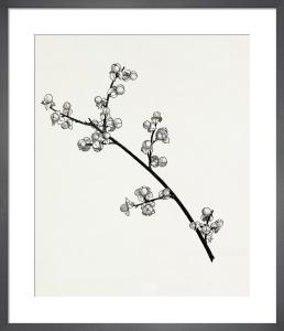 Celastrus scandens by Graham Stuart Thomas