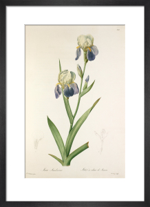 Iris sambucina by Pierre Joseph Celestin Redouté