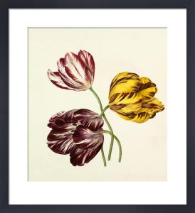 Tulipa by Caroline Maria Applebee