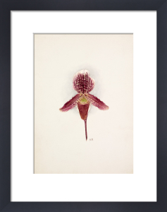 Cypripedium x Baron Schroeder by Nellie Roberts
