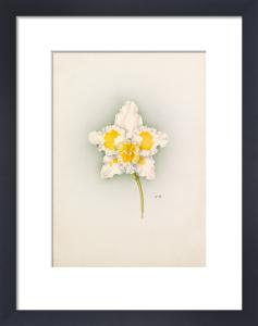 Odontoglossum Armstrongii by Nellie Roberts