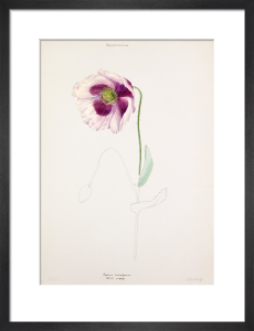 Papaver somniferum by Lillian Snelling
