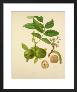 The Large French Walnut by William Hooker