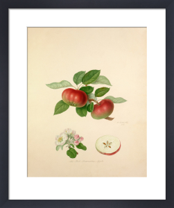 The Red Quarenden Apple by William Hooker