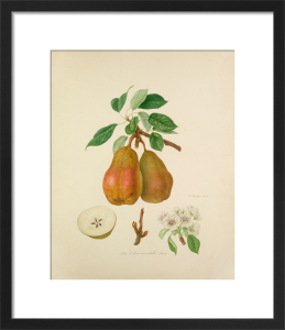 The Chaumontelle Pear by William Hooker