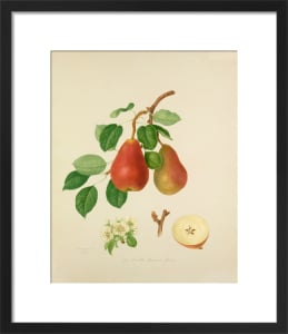 The Scarlet Bueree Pear by William Hooker