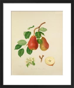 The Scarlet Bueree Pear by William Hooker