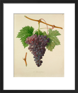 The Poonah Grape by William Hooker