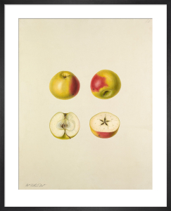 Apple cultivar by Augusta Innes Withers
