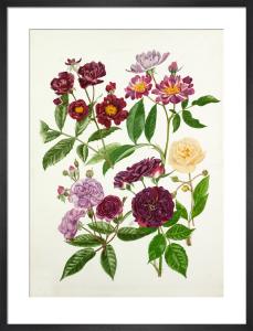 Rosa 'Violette', Rosa 'Veilchenblau', Rosa 'Rose-Marie Viaud', Rosa 'Bleu Magenta', Rosa 'Goldfinch' by Graham Stuart Thomas