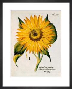 Helianthus annuus by Ferdinand Bernhard Vietz