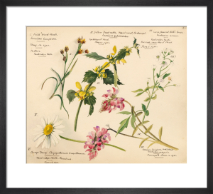 Wildflower Composite Plate XVI by Lillian Snelling
