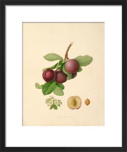 The Nectarine Plum by William Hooker