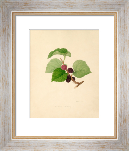 The Black Mulberry by William Hooker