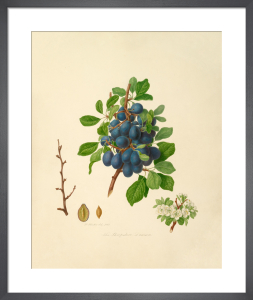 The Shropshire Damson by William Hooker