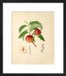 The Elruge Nectarine by William Hooker