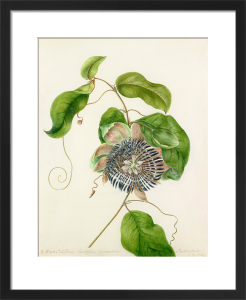 Passiflora, Lautifolia, Gynandria by Margaret Meen