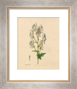 Aconitum variegatum by James Sowerby