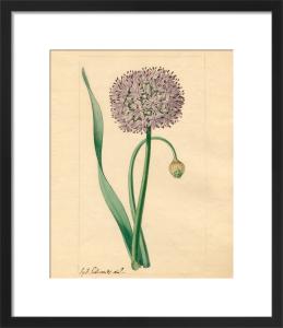 Allium nutans by Sydenham Teast Edwards