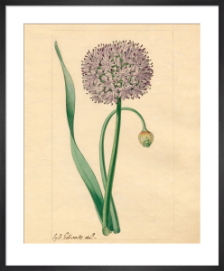 Allium nutans by Sydenham Teast Edwards