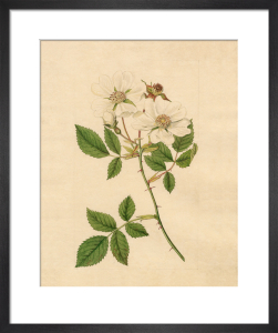 Rosa arvensis by Sydenham Teast Edwards