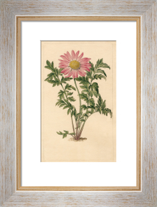Chrysanthemum roseum by Sydenham Teast Edwards