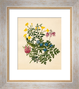 Daphne cneorum : Jasminum nudiflorum : Omphalodes verna : Dicentra eximia by Caroline Maria Applebee