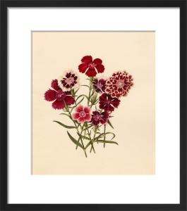 Dianthus chinensis (I) by Caroline Maria Applebee