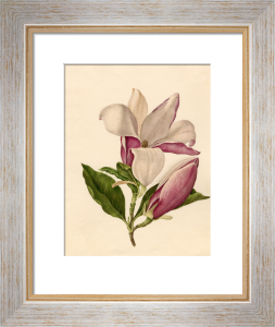 Magnolia officinalis by Caroline Maria Applebee