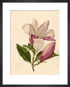 Magnolia officinalis by Caroline Maria Applebee
