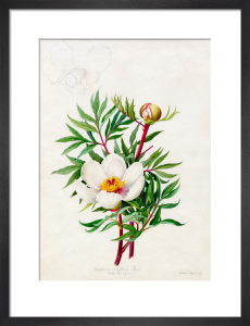 Paeonia clusii by Lillian Snelling
